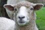 «Երկնքից» ընկած ոչխարի պատճառով դեռահասին հոսպիտալացրել են